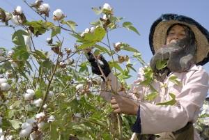 Baumwollernte. Bisher ist bei Fairtrade Cotton wie in der Kluft der DPSG nur die Baumwolle aus Fairem Handel.
